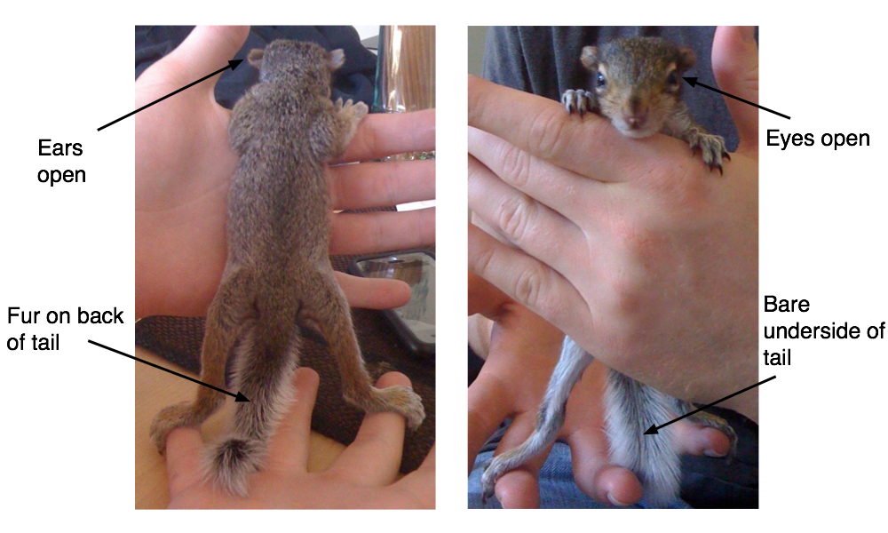 Several Easy Strategies For Determining The Age Of Your Baby Squirrel How Long Do Squirrels Live